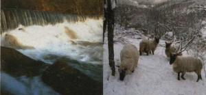 moutons dans les Cévennes