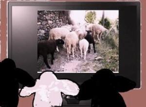 moutons regardant la télévision